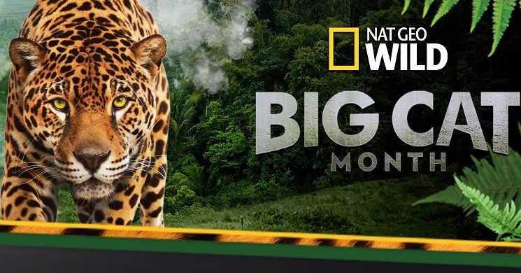Big Cat Month em fevereiro no Nat Geo Wild