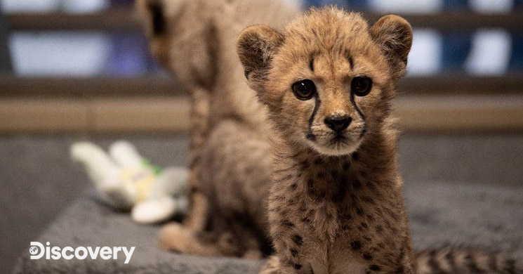 Discovery estreia duas séries sobre vida animal